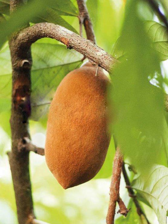 Fruto do Cupuaçu, Theobroma grandiflorum