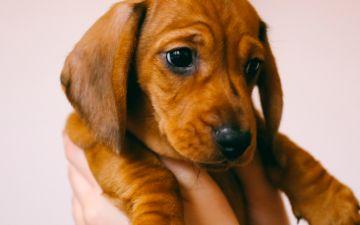 Sabia que gostar de cães é genético?