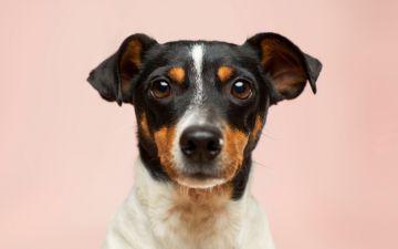 Os cães conseguem ler emoções humanas, afirma estudo