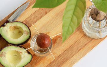 Como plantar um caroço de abacate em casa em 6 passos