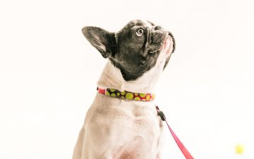 As melhores (e mais seguras) coleiras e peitorais para cães e gatos